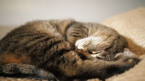 Un gato que miente en el sofá almacen de video