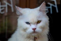 Un gato que mira de intimidación fotografía de archivo