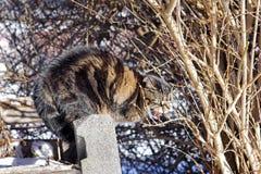 Un gato que silba enojado Fotografía de archivo