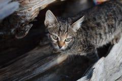Un gato rayado gris en un tronco de un árbol derrumbado del enebro está mirando Gato en el salvaje imagen de archivo