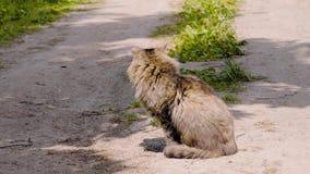 Un gato rayado peludo hermoso se sienta en el medio del camino y disfruta de los rayos del sol La visi?n desde el lado almacen de metraje de vídeo