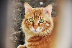 Un gato rojo imagen de archivo libre de regalías