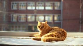 Un gato rojo duerme en un alféizar blanco en los rayos del ` s del sol almacen de video