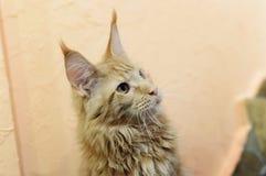 Un gato rojo grande hermoso Maine Coon Primer, foco selectivo fotos de archivo libres de regalías