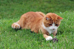 Un gato rojo y un ratón Imagen de archivo
