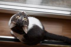 Un gato se sienta en un piso de madera y la mirada hacia fuera de la ventana Fotos de archivo