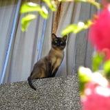 Un gato siamés que mira la cámara detrás de las flores imagen de archivo libre de regalías