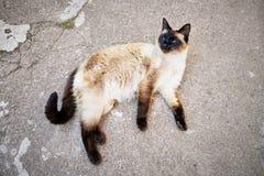 Un gato siamés sin hogar está mintiendo en el asfalto Imágenes de archivo libres de regalías