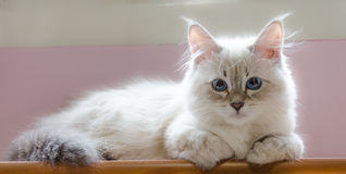 Un gato siberiano blanco del pequeño perrito cerca de la ventana Imágenes de archivo libres de regalías