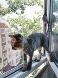 Un gato siberiano rayado arregló y afeitó para el verano mira hacia fuera en la calle mientras que se colocaba en una ventana fotos de archivo