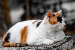 Un gato tri coloreado está mintiendo tranquilamente en el banco en el patio trasero foto de archivo