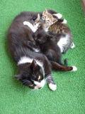 Un gato y tres gatitos Fotos de archivo libres de regalías