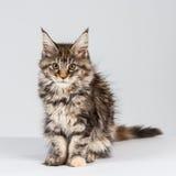 Un gattino adorabile del procione lavatore della Maine Immagine Stock