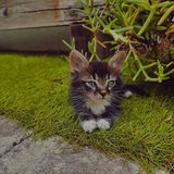 Un gattino con gli occhi azzurri fotografia stock libera da diritti