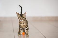 Un gattino del Bengala Immagini Stock