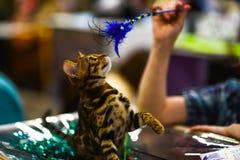 Un gattino del bengalese Cat On ha offuscato il fondo defocused immagini stock libere da diritti