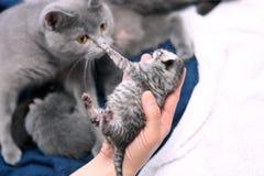 Un gattino del giorno scorso sveglio Immagini Stock