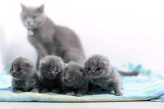 Un gattino del giorno scorso sveglio di Britannici Shorthair Immagine Stock Libera da Diritti