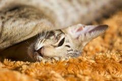 Un gattino di orientale dei capelli di scarsità Immagine Stock