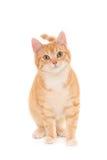 Un gattino di sguardo dello zenzero immagine stock