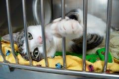 Un gattino mette sulla sua parte posteriore nella sua gabbia al riparo fotografia stock libera da diritti