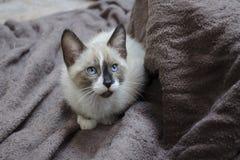 Un gattino siamese della miscela si accovaccia sugli asciugamani marroni Immagine Stock
