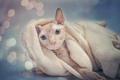 Un gatto accoglie favorevolmente il nuovo anno immagini stock libere da diritti
