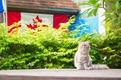 Un gatto aggrottante le sopracciglia irsuto che si siede di fronte ad un recinto verde e ad una bandiera canadese Immagini Stock
