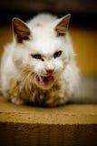 Un gatto arrabbiato sveglio che mawning Fotografia Stock