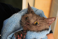Un gatto bagnato avvolto in un asciugamano Immagini Stock Libere da Diritti