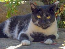 Un gatto in bianco e nero che si trova sul pavimento fotografia stock