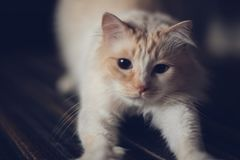 Un gatto bianco sabbioso d'allungamento immagini stock