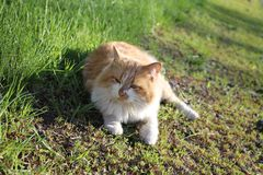 Un gatto bicolore, bianco rossastro, che si trova sull'erba ed esamina fuori la distanza, un bello giorno di molla, il cotta fotografie stock