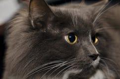 Un gatto che relaxaxing Fotografie Stock
