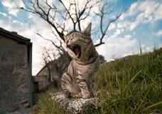 Un gatto che sbadiglia Immagini Stock