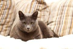 Un gatto che si siede su un sofà che osserva diritto Fotografia Stock