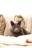 Un gatto che si siede su un sofà che osserva diritto Immagine Stock