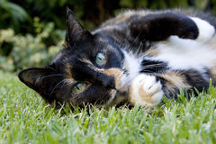 Un gatto che si trova sull'erba Fotografie Stock
