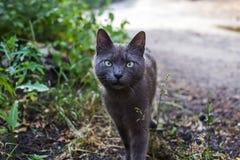 Un gatto cinereo su una passeggiata fotografia stock