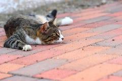 Un gatto comune Fotografia Stock Libera da Diritti