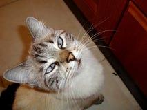 Un gatto con gli occhi azzurri immagine stock