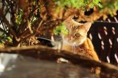 Un gatto con gli occhi rossi con gli occhi gialli Fotografia Stock