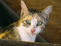Un gatto con gli occhi verde chiaro Fotografia Stock Libera da Diritti