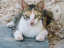 Un gatto con gli occhi verde chiaro Immagine Stock