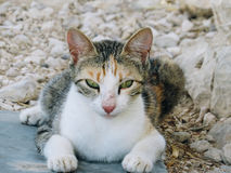 Un gatto con gli occhi verde chiaro Immagini Stock