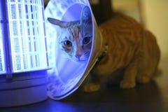Un gatto con un collare del cono Fotografia Stock