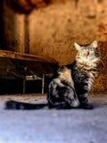 Un gatto con uno sguardo fisso intenso immagine stock