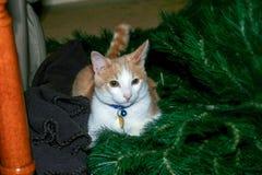 Un gatto curioso di Natale immagine stock