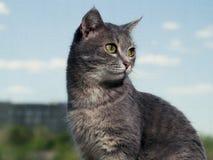 Un gatto dagli occhi verdi grigio bello con le bande in bianco e nero si siede sul davanzale e guarda un piccolo a partire dal immagine stock
