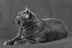Un gatto dai capelli corti con gli occhi di giallo si trova su un fondo grigio Fotografia Stock Libera da Diritti